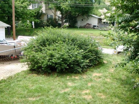 My unruly bush